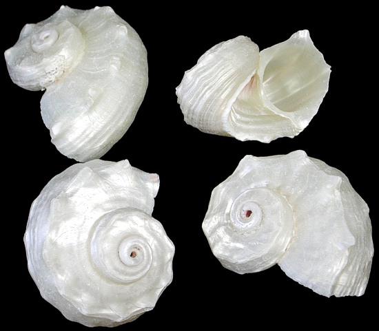 Pearl Delphinula   10/17/13