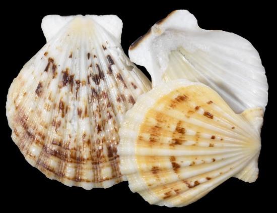 Pectin Radula Shells