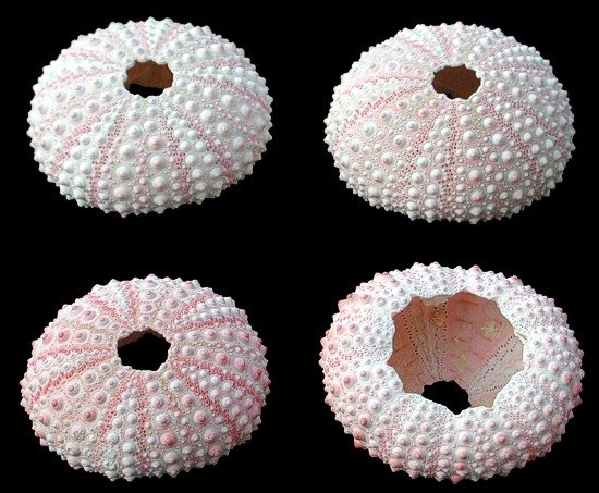 Pink Dyed Sea Urchins