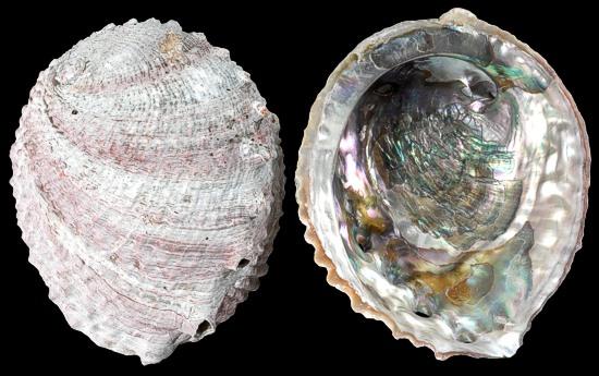 Pink Ruff Abalone 3/14/14