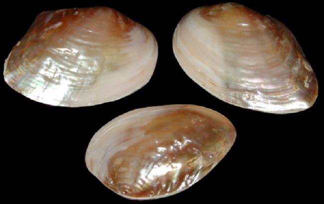 polished Golden Mussel/ pink ubol