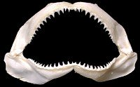 Shark Jaw Preserved  1/16/13