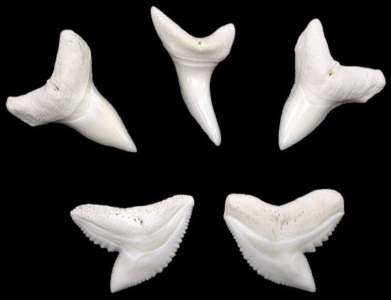 SMALL SHARK TEETH