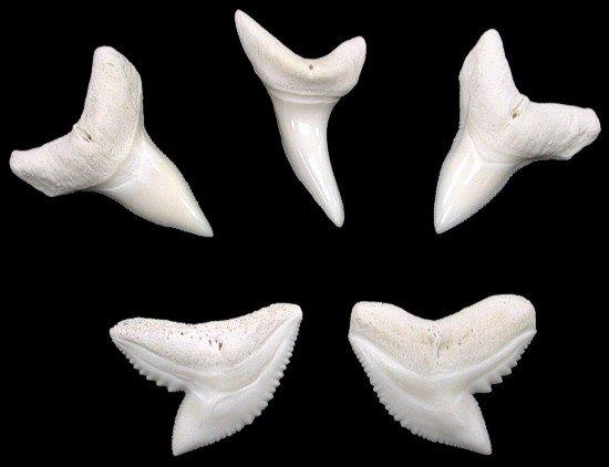 SMALL SHARK TEETH