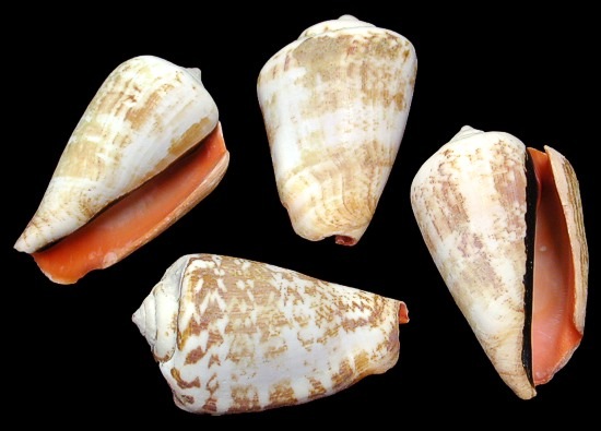 Strawberry Strombus Shells