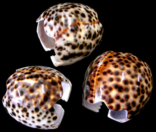 Tiger Cowrie Napkin Ring