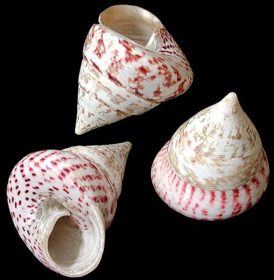 Troca Maculata shell 1/12/13