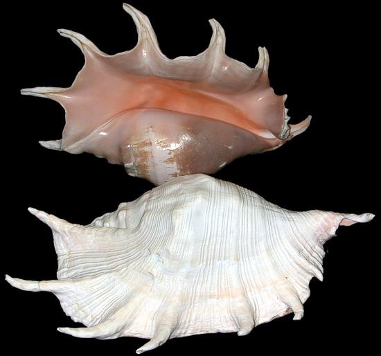 Truncata Spider Conch