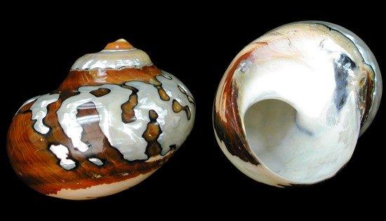 Turbo Semanticus African  12/31/12