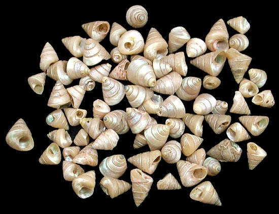 Venetian Pearl Shells