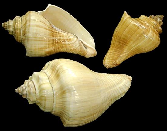 Vole Shells