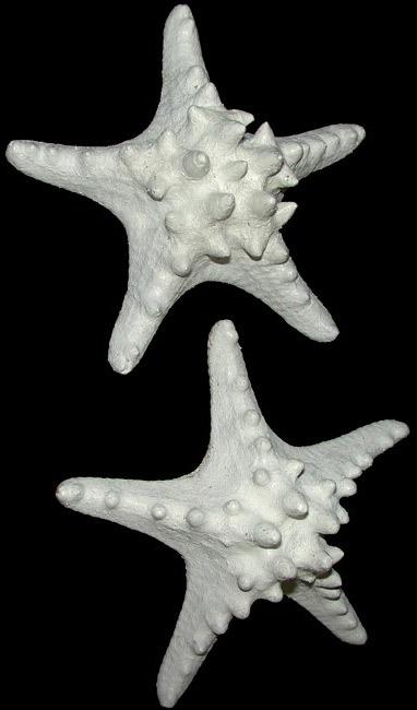 White Knobby Star Fish