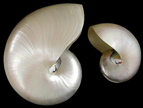 Whole Pearl Nautilus Shell  8/12/13