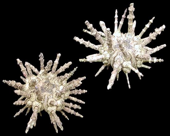Whole Sputnik Sea Urchin