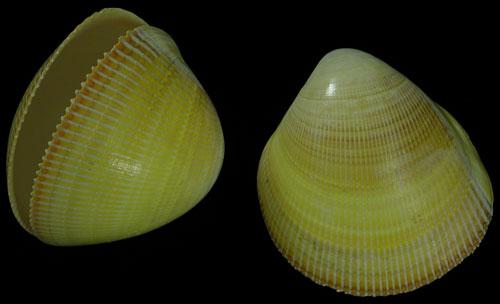Yellow Cardium Pair    9/27/13