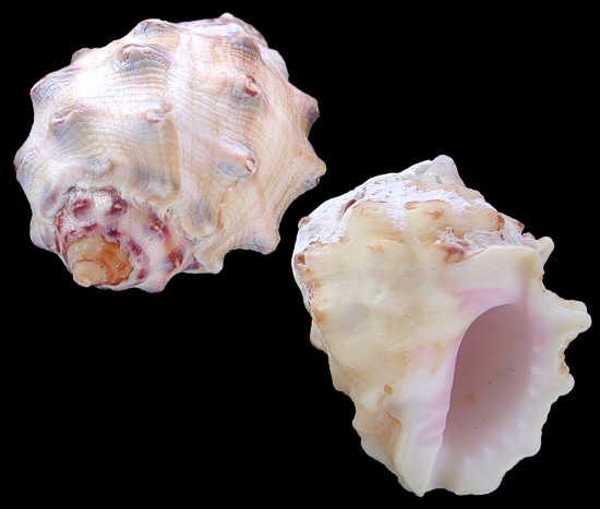 Yellow Drupe Shells   10/22/13